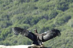 Californische condor - Wikipedia