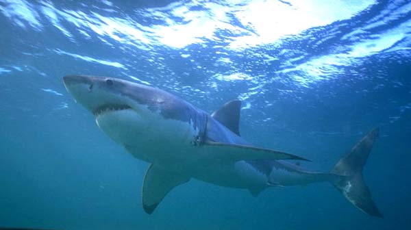 South African White Shark