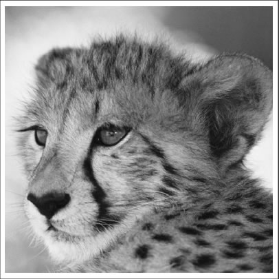 Cheetah  - Stichting Spots